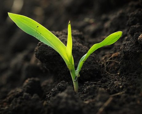 the corn planting essay The disadvantages of gmo sweet corn are potential dangers to human health and the environment gmo sweet corn sweet corn that has been genetically modified is.